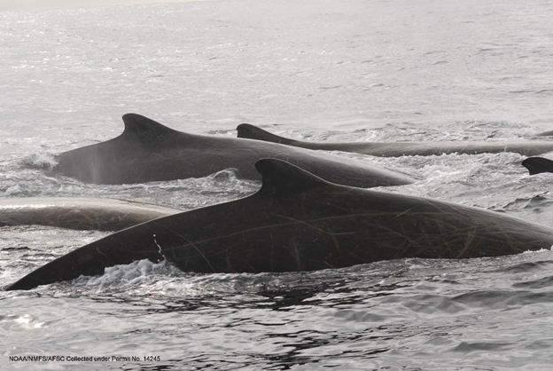 Baird's beaked whales in the Gulf of Alaska. Photo credit Ernesto Vasquez.