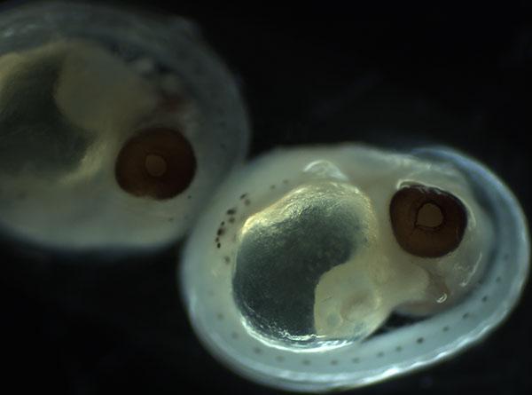 Rockfish embryos
