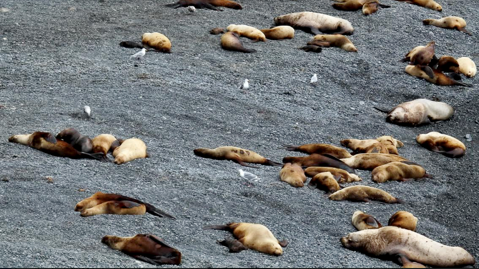 Steller sea lions on beach