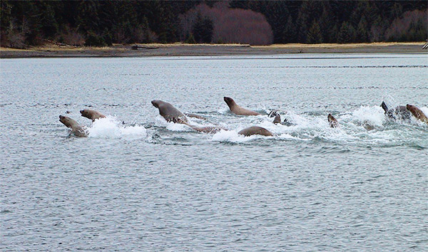 Steller sea lions on a cooperative foraging excursion